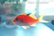 サクラダイ Photo by Marine reef Sea Creatorさん