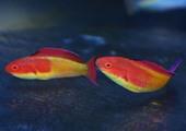 フーデットフェアリーラス Photo by Crown Fishさん