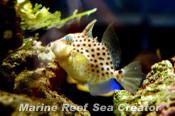 ブルースポテッドトリガーフィッシュ Photo by Marine reef Sea creatorさん