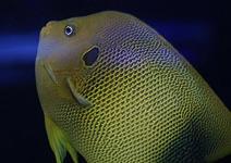 アフリカヌス Photo by Crown Fishさん