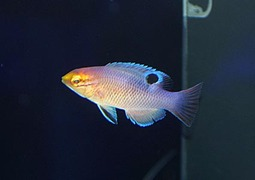 ボディアヌスSP Photo by Crown Fishさん