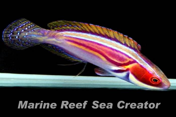 ラポウテッドラス Photo by Marine reef Sea creatorさん