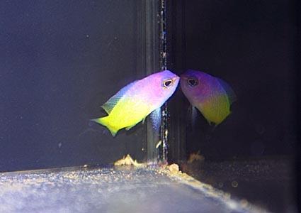バイカラーバスレット Photo by Crown Fishさん