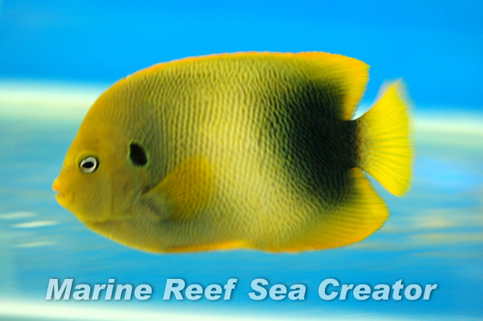 ウエストアフリカンエンゼル Photo by Marine reef Sea creatorさん
