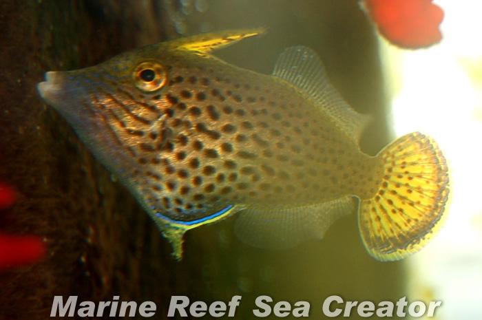 ファンテールファイルフィッシュ Photo by Marine reef Sea creatorさん