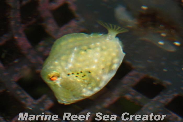 バッファロートランクフィッシュ Photo by Marine reef Sea creatorさん