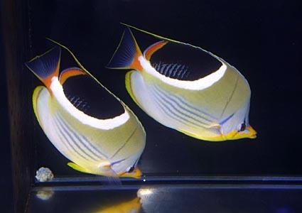 セグロペア Photo by Crown Fishさん