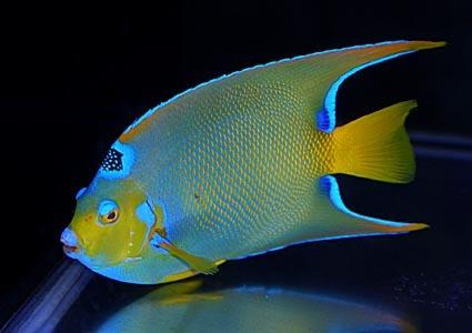 クイーンA Photo by Crown Fishさん
