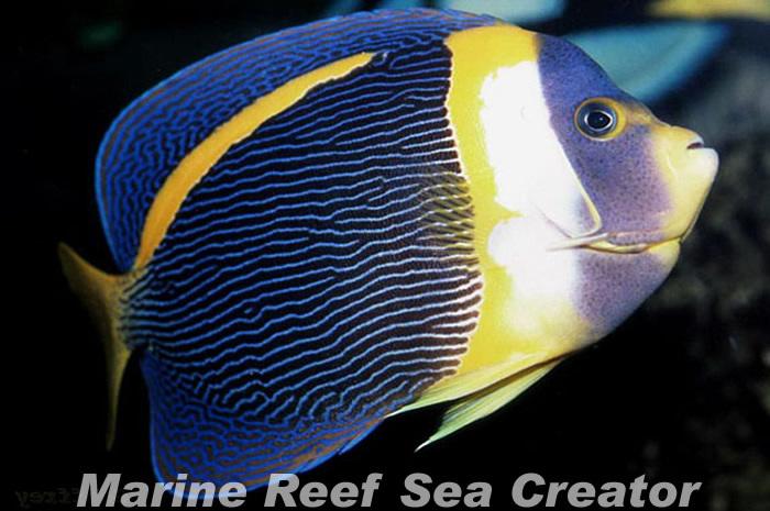 スクリブルドエンゼル Photo by Marine reef Sea creatorさん
