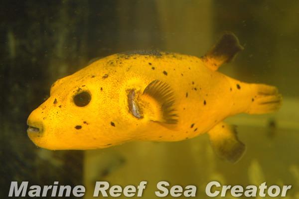 ゴールデンパッファー Photo by Marine reef Sea creatorさん