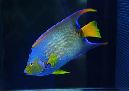 クイーンA(ベリーズ) Photo by Crown Fishさん