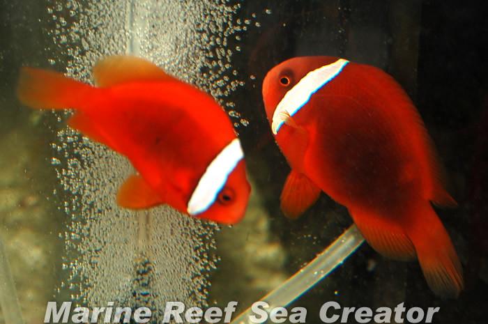 ハマクマ ペア Photo by Marine reef Sea creatorさん