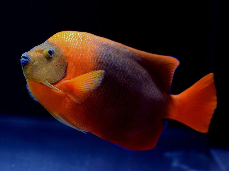クラリオンエンゼル Photo by Crown Fishさん