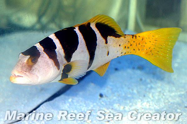 コクハンアラ Photo by Marine reef Sea creatorさん