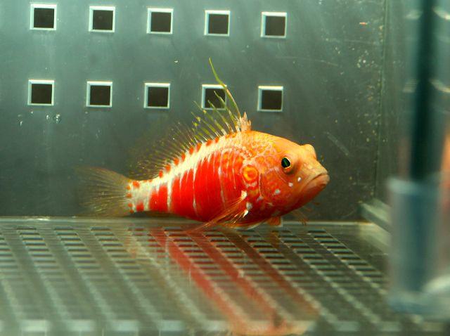 オシャレハナダイ Photo by Crown Fishさん