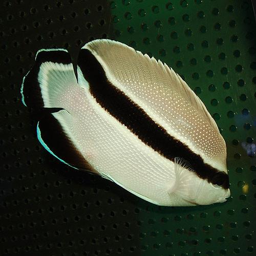 ブラックバンドエンゼル Photo by アクアライズさん