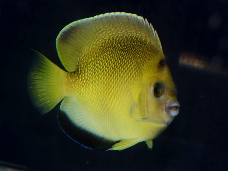アーミターギー Photo by Crown Fishさん