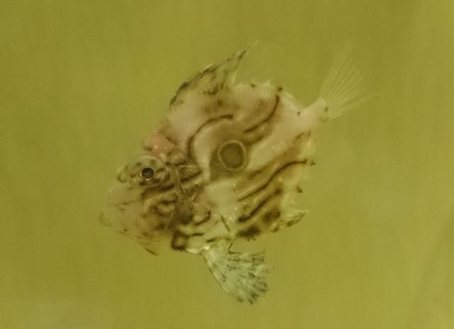 マトウダイ幼魚 Photo by アットブルーさん