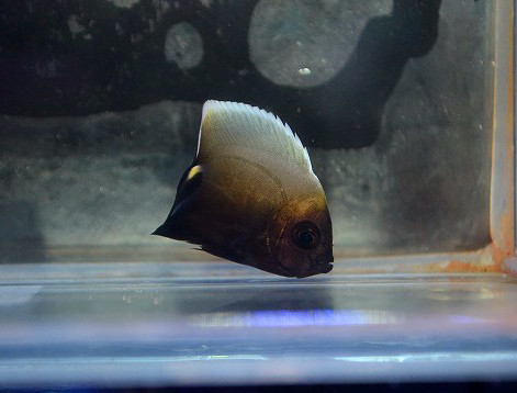 コンスピキュアスエンゼルSS Photo by 生麦海水魚センターさん