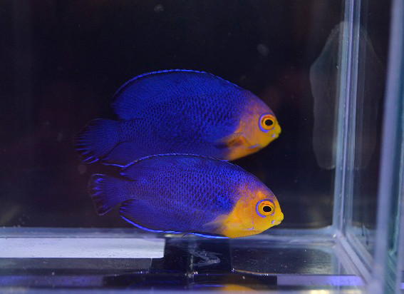 チェルブピグミー ペア Photo by 生麦海水魚センターさん