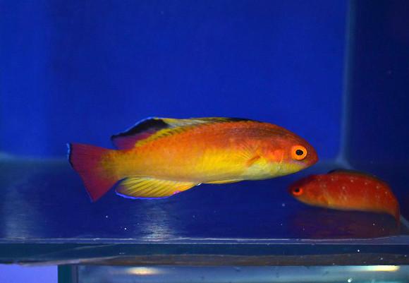 ナハッキーフェアリーラス ペア Photo by 生麦海水魚センターさん