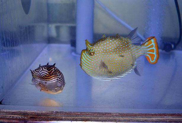 オーネイトカウ ペア Photo by 生麦海水魚センターさん