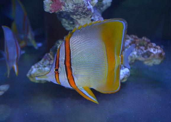 マージンドコーラルフィッシュ Photo by 生麦海水魚センターさん