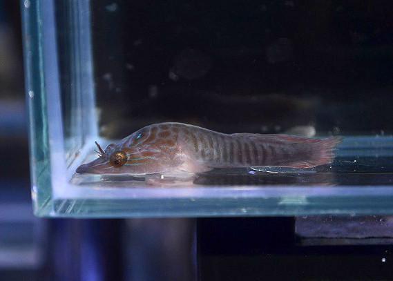 チチュウカイクリングフィッシュ Photo by 生麦海水魚センターさん