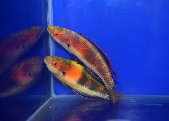 ガードルドフェアリーラス ペア Photo by 生麦海水魚センターさん