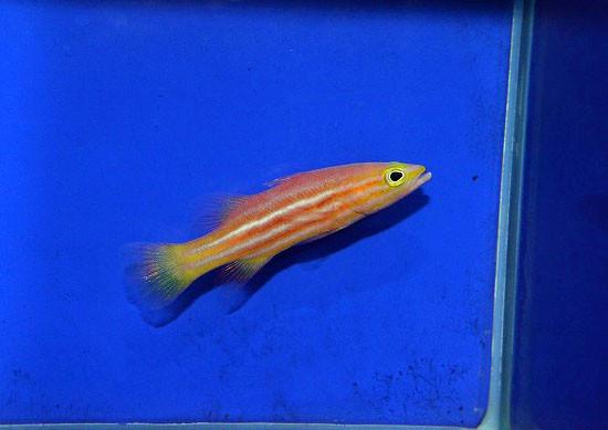 アフリカンリーフバスレット Photo by 生麦海水魚センターさん