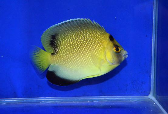 アルミテージエンゼル Photo by 生麦海水魚センターさん