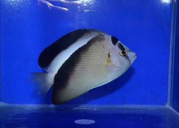 グリフィスエンゼル Photo by 生麦海水魚センターさん