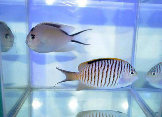 ゼブラエンゼル ペア Photo by 生麦海水魚センターさん