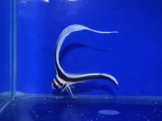 スポッテットドラム Photo by 生麦海水魚センターさん