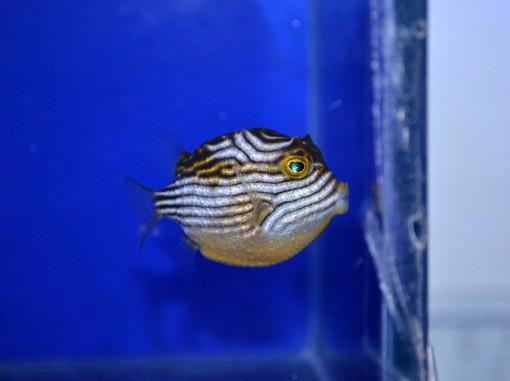 オーネイトカウフィッシュ Photo by 生麦海水魚センターさん