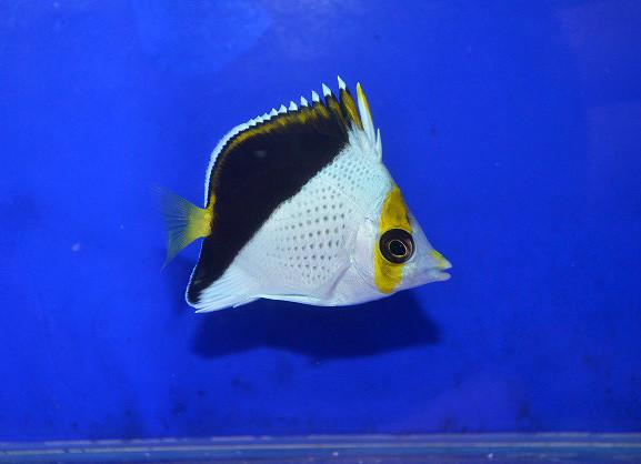 ティンカーズバタフライ幼魚 Photo by 生麦海水魚センターさん