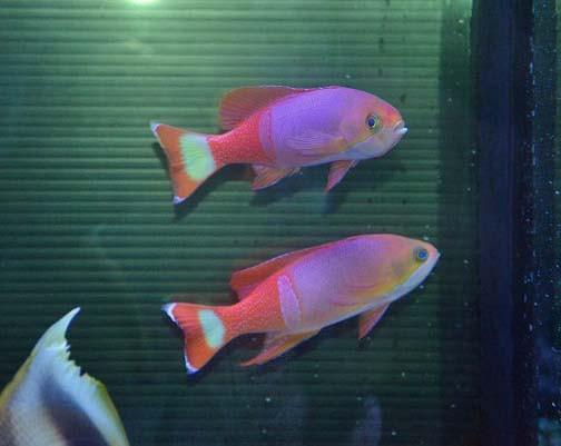 ペインテッドアンティアス ペア Photo by 生麦海水魚センターさん