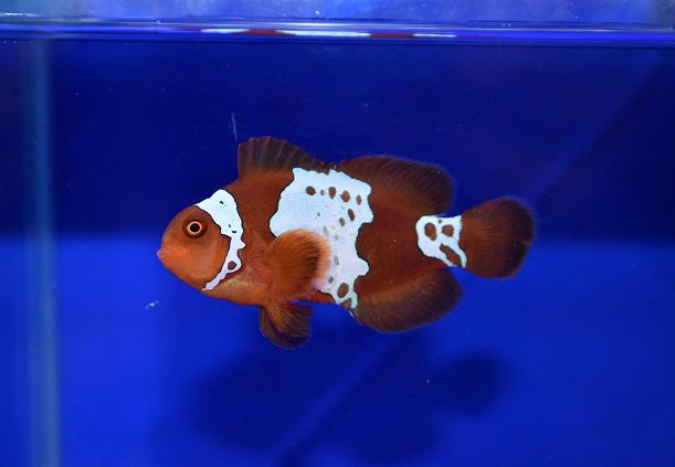 ライトニングマロン Photo by 生麦海水魚センターさん