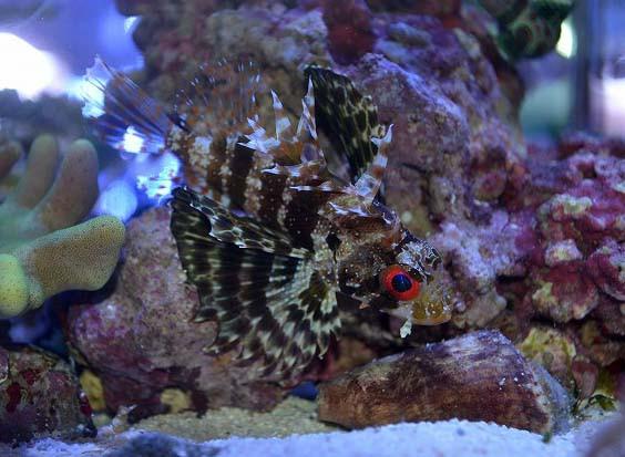 ハワイアンライオンフィッシュ Photo by 生麦海水魚センターさん
