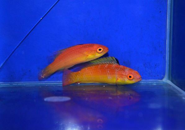 ナハッキーズフェアリーラス ペア Photo by 生麦海水魚センターさん