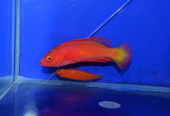 マグマフェアリーラス ペア Photo by 生麦海水魚センターさん