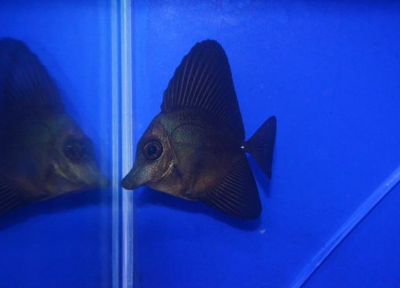 ロングノーズブラックタン Photo by 生麦海水魚センターさん