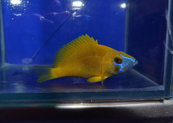 ゴールデンハムレット Photo by 生麦海水魚センターさん