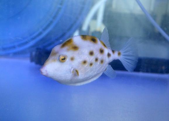 ウェスタンスムースボックス Photo by 生麦海水魚センターさん