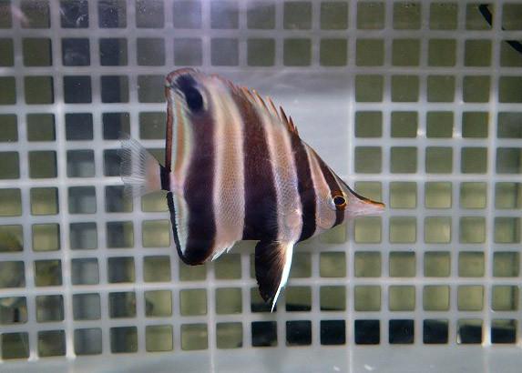 ウエスタンタルマ Photo by 生麦海水魚センターさん