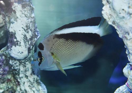 グリフィス Photo by 生麦海水魚センターさん