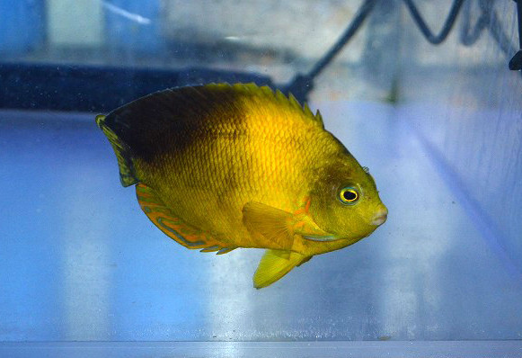 ヘラルドヤッコ 色彩変異個体 Photo by 生麦海水魚センターさん